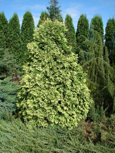Thuja occidentalis Wareana Lutescens